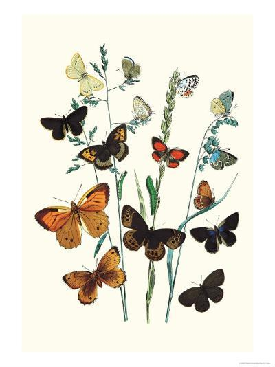Butterflies: L. Roboris, P. Orion-William Forsell Kirby-Art Print