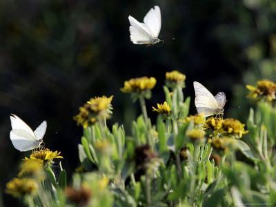 Butterflies Land on Wild Flowers at Boca Chica, Texas-Eric Gay-Photographic Print
