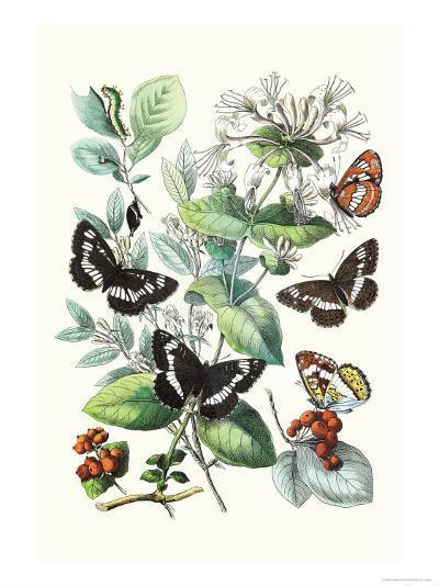 Butterflies: N. Lucilla, L. Sibylla-William Forsell Kirby-Art Print