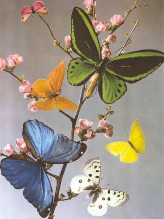 Butterflies On A Branch-Found Image Press-Art Print
