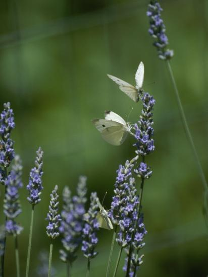 Butterflies on a Lavender Flower-Taylor S^ Kennedy-Photographic Print