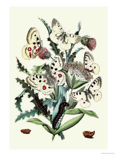 Butterflies: P. Apollo, P. Phoebus-William Forsell Kirby-Art Print