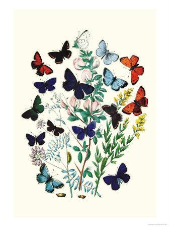 https://imgc.artprintimages.com/img/print/butterflies-p-euphemus-p-cyllarus_u-l-p2bmyu0.jpg?p=0