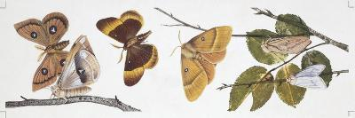 Butterflies Sexual Dimorphism--Giclee Print