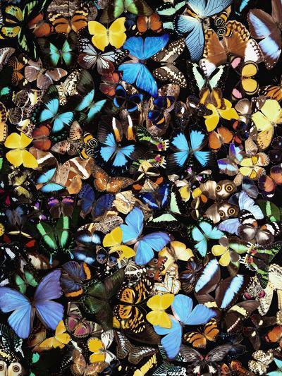 Butterflies-Darrell Gulin-Photographic Print
