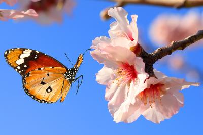 Butterfly and Pink Almond Tree Blossom-Protasov AN-Photographic Print