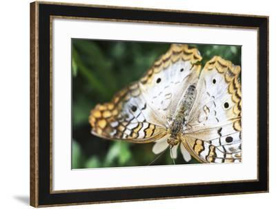 Butterfly AZ 7-Chris Dunker-Framed Photographic Print