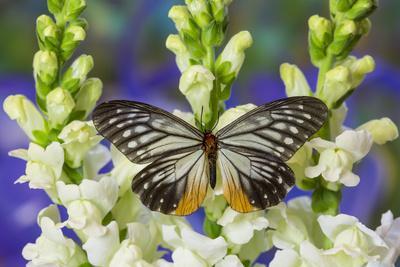 https://imgc.artprintimages.com/img/print/butterfly-calinaga-buddha-the-freak_u-l-pyp6oa0.jpg?p=0