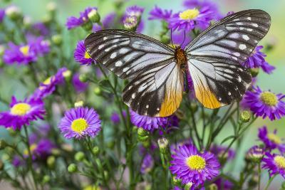 Butterfly Calinaga Buddha, the Freak-Darrell Gulin-Photographic Print