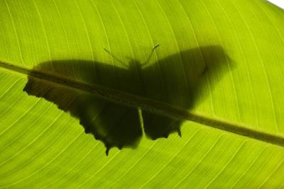 Butterfly, Costa Rica--Photographic Print
