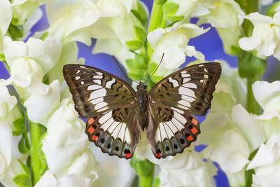 https://imgc.artprintimages.com/img/print/butterfly-female-euthalia-adonia-adonia-in-the-nymphalidae-family_u-l-pyp6vn0.jpg?p=0