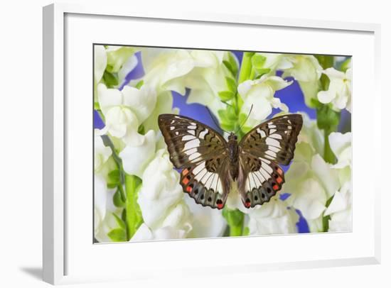 Butterfly, Female, Euthalia Adonia Adonia in the Nymphalidae Family-Darrell Gulin-Framed Photographic Print