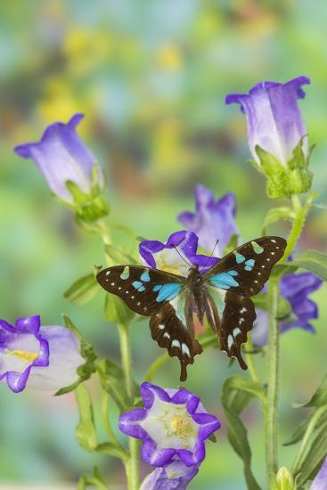 Sưu tập Bộ cánh vẩy 2 - Page 58 Butterfly-graphium-stresemanni_u-l-pyp15d0