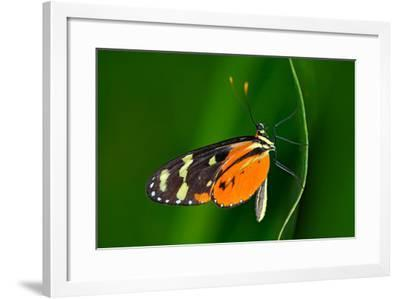 Butterfly Heliconius Hacale Zuleikas, in Nature Habitat. Nice Insect from Costa Rica in the Green F-Ondrej Prosicky-Framed Photographic Print