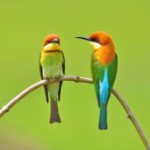 Couple of Bee Eater Bird by Butterfly Hunter