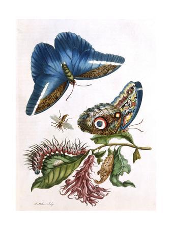 https://imgc.artprintimages.com/img/print/butterfly-illustration-by-maria-sibylla-merian_u-l-ps4cul0.jpg?p=0