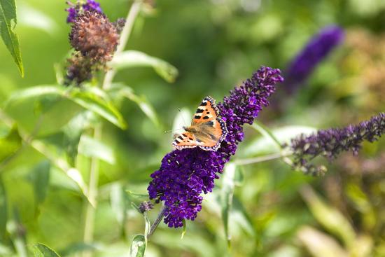 Butterfly on a buddleia bush-Jens Barslund-Photo