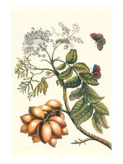 Butterfly on a Spanish Plum-Maria Sibylla Merian-Premium Giclee Print