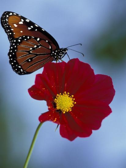 Butterfly on Cosmos in the Woodland Park Zoo, Seattle, Washington, USA-Darrell Gulin-Photographic Print