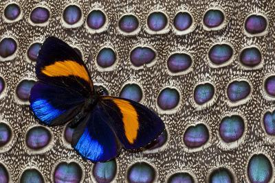 Butterfly on Grey Peacock Pheasant Feather Design-Darrell Gulin-Photographic Print