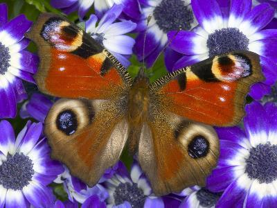 Butterfly on Purple Daisies-Darrell Gulin-Photographic Print