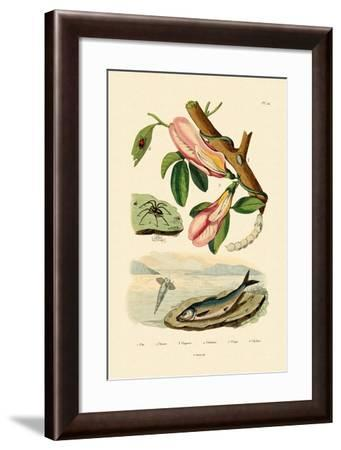 Butterfly Pea, 1833-39--Framed Giclee Print