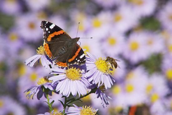 Butterfly, Red Admiral and Insect on Aster Blossoms-Uwe Steffens-Photographic Print