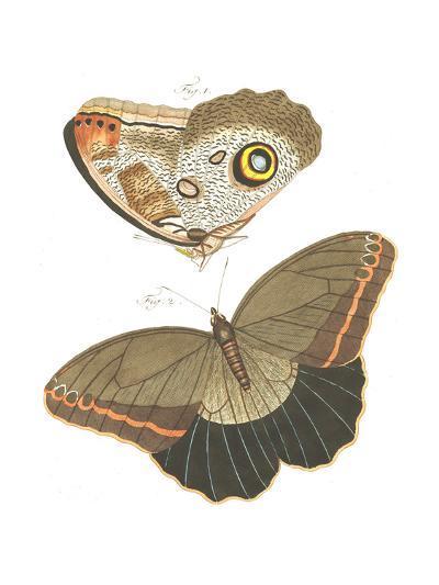 Butterfly Scientific Illustrations--Art Print