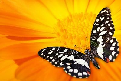 Butterfly Sleeping On An Orange Flower-NejroN Photo-Photographic Print