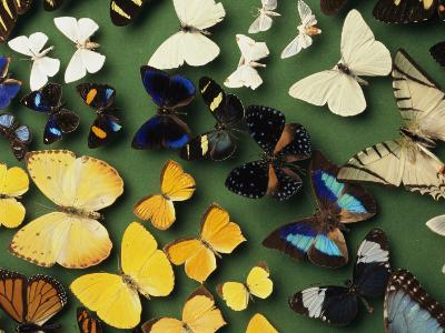 Butterfly Specimens in a Lab of the National Biodiversity Institute-Steve Winter-Photographic Print