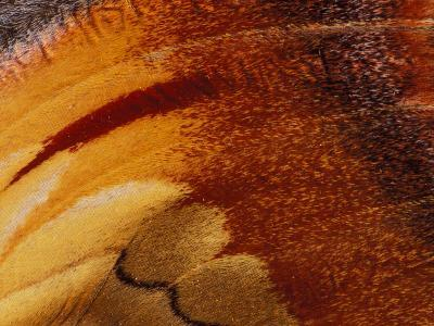 Butterfly Wing Detail-Gavriel Jecan-Photographic Print