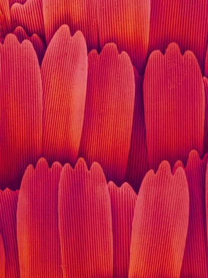 Butterfly Wing Scales, SEM X700-Richard Kessel-Photographic Print