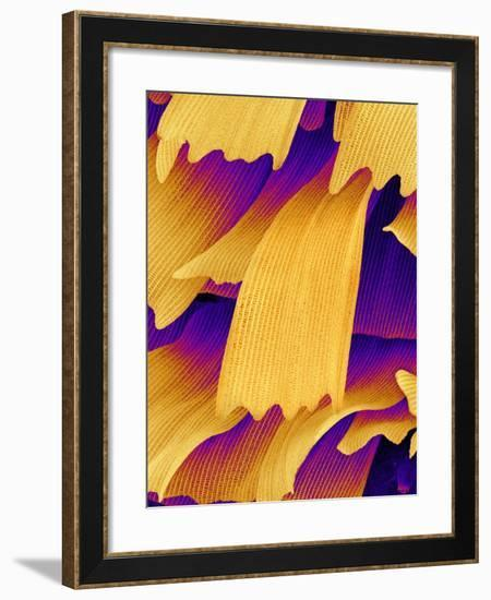 Butterfly Wing Scales, SEM-Susumu Nishinaga-Framed Photographic Print
