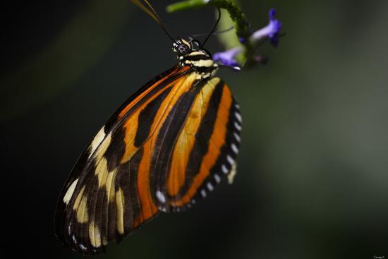 Butterfly-Gordon Semmens-Photographic Print