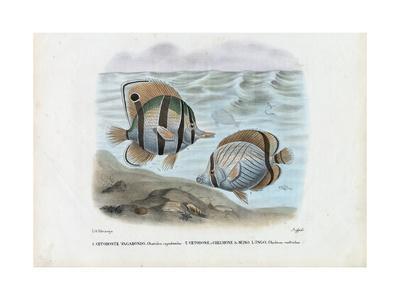 https://imgc.artprintimages.com/img/print/butterflyfish-1863-79_u-l-purfja0.jpg?p=0