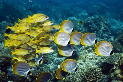 Butterflyfish And Snappers-Georgette Douwma-Photographic Print