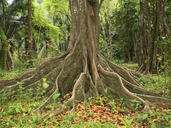 Buttress Roots of the Silk Cotton Tree, Ceiba Pentandra, Which Can Grow to over 60 Meters High-Don Grall-Photographic Print