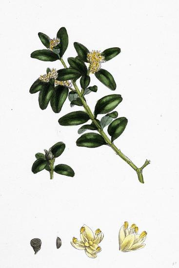 Buxus Sempervirens Common Box--Giclee Print