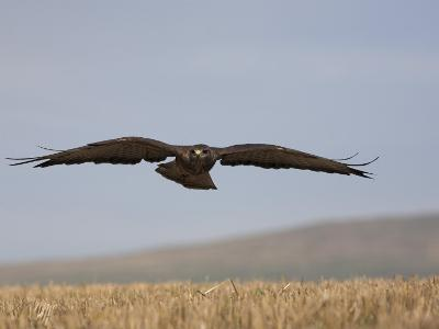 Buzzard (Buteo Buteo), Flying Over Farmland, Captive, Cumbria, England, United Kingdom-Steve & Ann Toon-Photographic Print