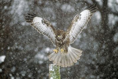 Buzzard Landing in Snow Shower--Photographic Print