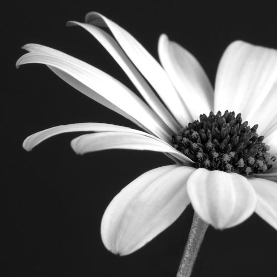 BW Osteospurmum 02-Tom Quartermaine-Giclee Print