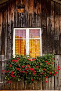 Geranium in Front of Window by By
