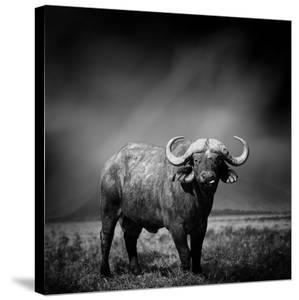 Black and White Image of A Buffalo by byrdyak