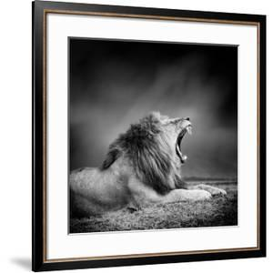 Black and White Image of A Lion by byrdyak