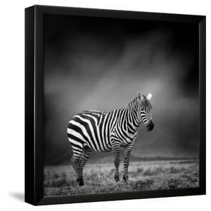 Black and White Image of A Zebra by byrdyak