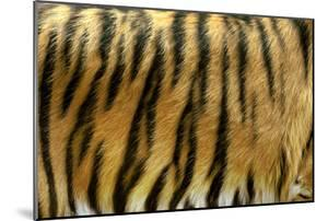 Texture of Real Tiger Skin by byrdyak