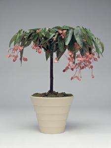 Close-Up of a Begonia Tamaya Plant by C. Dani