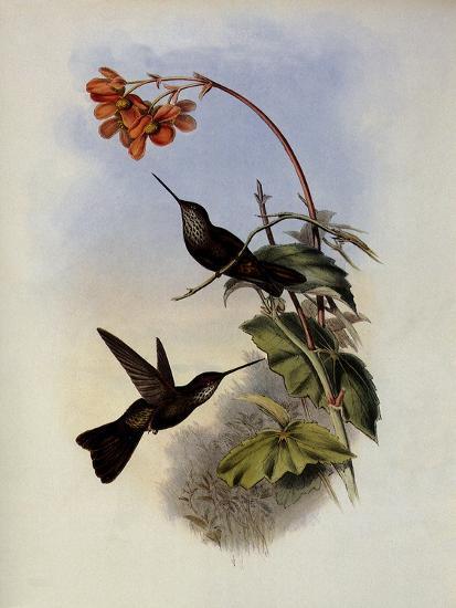 C�ligene, C�ligena Typica-John Gould-Giclee Print