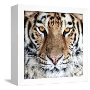 Bengal Tiger Eyes by C^ McNemar