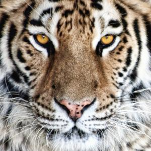 Bengal Tiger Eyes by C^ McNemar